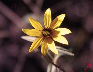 sunflower in sepia flat